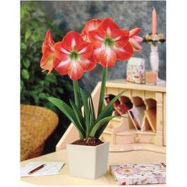 Striped Amaryllis Kit, with Ceramic Planter thumb
