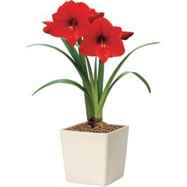 Red Amaryllis Kit, with Ceramic Planter thumb